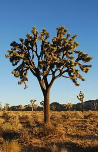 Joshua tree in California desert. Photo by Jarek Tuszynski.